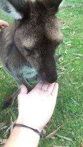 Feeding kangaroos at Urimbirra