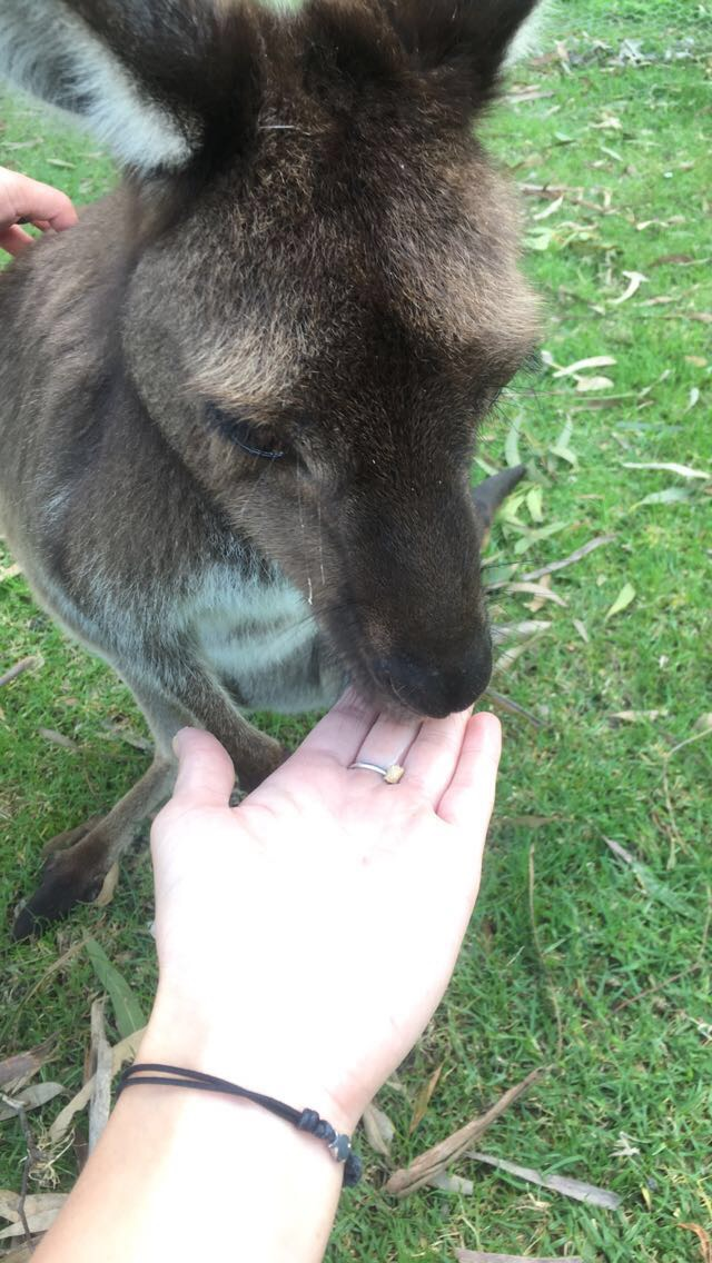 Feeding kangaroos at Urimbirra