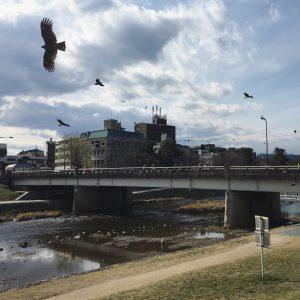 Kites in Kyoto