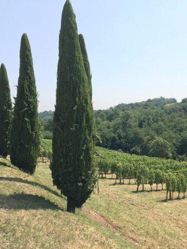 Scenic Italian vineyard